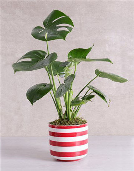 Picture of Monstera Plant in Red Striped Vase
