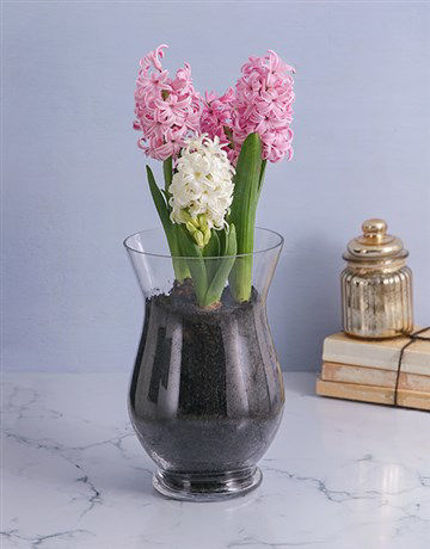 Picture of Hyacinths in a Hurricane Vase